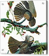 Audubon Chuck-will's Widow Acrylic Print