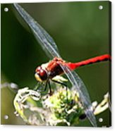 August Dragonfly  Acrylic Print