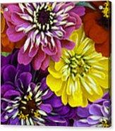 August Zinnias Acrylic Print