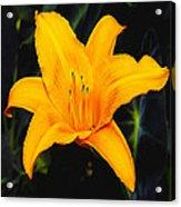Aurelian Lily Acrylic Print