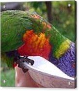 Australia - One Wet Lorikeet Feeding Acrylic Print