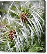 Australian Beach Flowers Acrylic Print