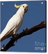 Australian Bird Acrylic Print