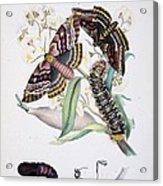 Australian Butterflies Acrylic Print by Philip Ralley