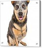 Australian Cattle Dog With Missing Leg Isolated On White Acrylic Print