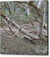 Australian Native Tree 4 Acrylic Print