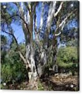 Australian Native Tree 5 Acrylic Print