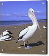 Australian Pelican On Beach Acrylic Print