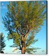 Australian Pine At Sundown Acrylic Print