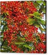 Australian Poinciana Tree Acrylic Print