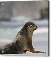 Australian Sea Lion On Beach Kangaroo Acrylic Print