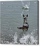 Australian Shepherd Fun At The Lake Chasing The Ball Acrylic Print
