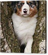 Australian Shepherd Puppy Acrylic Print
