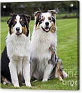 Australian Shepherds Acrylic Print