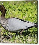 Australian Wood Duck Acrylic Print