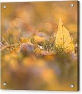 Autumn Ash Leaves Acrylic Print