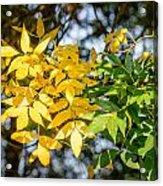 Autumn Ash Tree Leaves Under The Sun Acrylic Print
