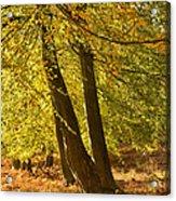 Autumn Beeches Acrylic Print