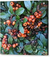 Autumn Berries In Michigan Acrylic Print