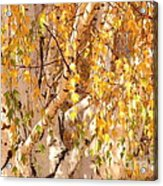 Autumn Birch Leaves Acrylic Print