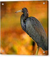 Autumn Blue Heron Acrylic Print