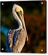 Autumn Brown Pelican Acrylic Print