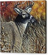 Autumn Buck Acrylic Print