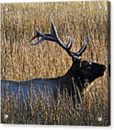 Autumn Bull Elk In Yellowstone National Park Acrylic Print