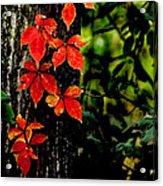 Autumn Climber Acrylic Print