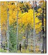 Autumn Colorado-1 Acrylic Print