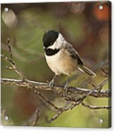 Autumn Colors Chickadee Acrylic Print
