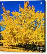 Autumn Colors Gingko Tree  Acrylic Print by Jinx Farmer