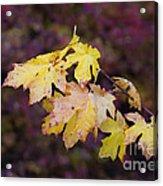 Autumn Contrast Acrylic Print