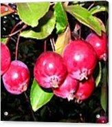 Autumn Crab Apples Acrylic Print