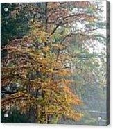 Autumn Cypress Acrylic Print