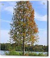 Autumn Cypress Tree Acrylic Print