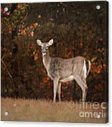 Autumn Doe Acrylic Print