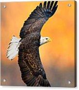 Autumn Eagle Acrylic Print