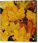Autumn Fallen Maple Acrylic Print