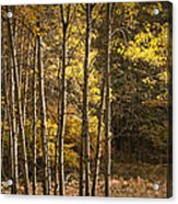 Autumn Forest Scene With Birches In West Michigan Acrylic Print