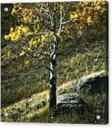 Autumn Glow - Yellowstone Acrylic Print