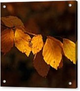 Autumn Gold Acrylic Print by Peter Skelton