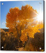 Autumn Golden Birch Tree In The Sun Fine Art Photograph Print Acrylic Print