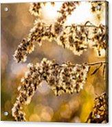 Autumn Goldenrod  Acrylic Print