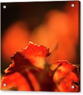 Autumn Grape Leaf Macro Acrylic Print by Charmian Vistaunet