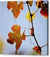 Autumn Grapevine Acrylic Print by Dry Leaf