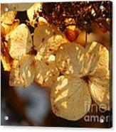Autumn Hydrangeas I V Acrylic Print