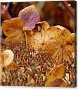 Autumn Hydrangeas V Acrylic Print