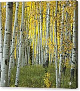 Autumn In The Aspen Grove Acrylic Print