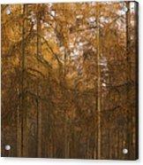 Autumn Larch Acrylic Print